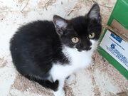 Schwarzweißes Kätzchen Katze