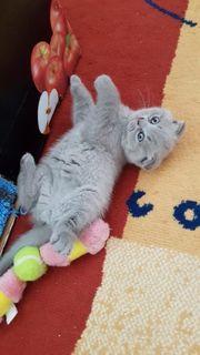 Scotish Fold Straight Kitten