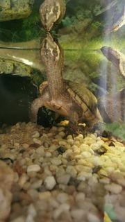 Gewöhnliche Moschusschildkröte