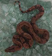 Boa constrictor sabogae