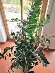 Zimmerpflanze Zamie Zamioculcas zamiifolia gesund