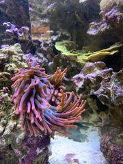 Korallenableger Anemone Meerwasser