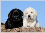 Weisse und schwarze Labrador Welpen