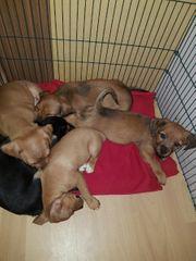 Pekinese Terrier Mix Welpen suchen