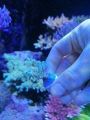 Korallen Acroporas Montiporas und Zoad
