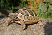 Griechische Landschildkröten thb Schlupf 2017