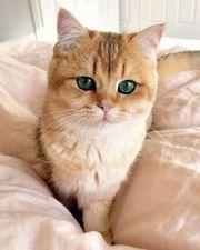 ich SUCHE bkh kitten in