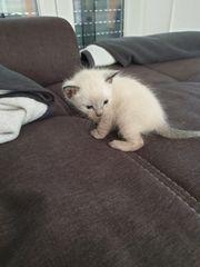 Siamkatze Kitten