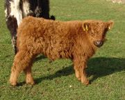 Galloway Rinder weibl und männl