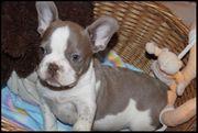 Französische Bulldogge Isabella lilac
