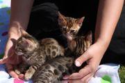 Reinrassige Bengal Katzen