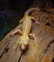 Leopardgecko lat Eublepharis macularius 29EUR