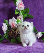 BKH Katzenbabys Kitten Katerchen