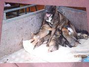 Bull Terrier border collie Mischling