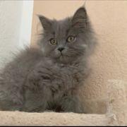Perser Kätzchen mit Nase reinrassig