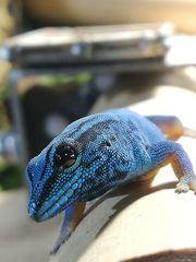 Gecko Himmelblauer Taggecko Lygodactylus Williamsi