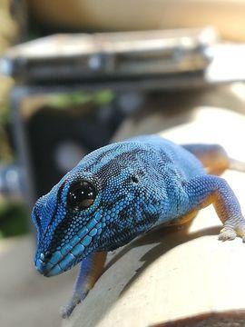 Gecko , Himmelblauer Taggecko , Lygodactylus Williamsi