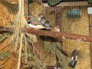 4 Zebrafinken Babyvögel abzugeben