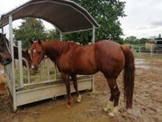Reitbeteiligung an 6 jähriger Quarterhorse