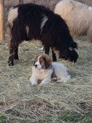Reinrassige Pyrenähenberg Hunde Herdenschutzhunde