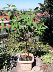 Pflanze Fuchsia Boliviana 110cm hoch