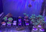 Korallen-Ableger ab 5 Euro - Meerwasser