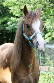 Pony-Führerschein® - auch für Familien Reitunterricht