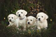 Labrador Welpen ab sofort abgabebereit