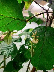 Wandelndes Blatt Nymphen