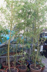 Bambus Phyllostachis für Heckenpflanzung Herbst