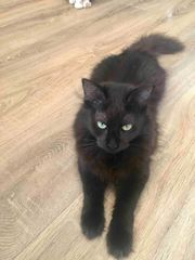 Katze Sheba sucht liebevolles Personal