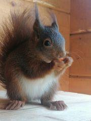 2 Eichhörnchen 1 0 und