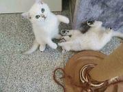 BKH Kitten suchen neue Familie