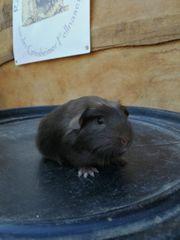 Rassemeerschweinchen aus geprüfter Zucht