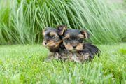 Verkaufe Mini Yorki Terrier Welpen