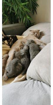 Scottish Fold Straight Kitten abzugeben