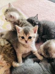 Reinrassige BKH Kitten 1 Mädchen