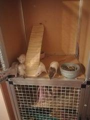 5 ratten weibchen