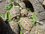 Nachzuchten Griechische Landschildkröten THB 2014