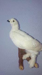 Schneehuhn Vogel Präparat Tierpräparat Ausgestopft