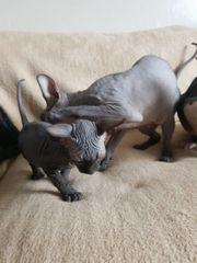 Sphynx-Kätzchen erhältlich WhassApp 01521 3471735