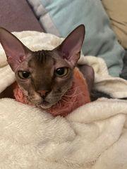 Sphynx Kitten - Wurf Ankündigung