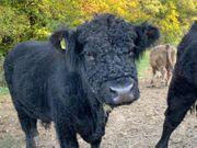 tragende Kühe auf Freilandhaltung