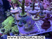 Acropora Millepora Montipora Stylophora Korallenableger