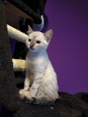Snow Bengal Kitten abgabebereit