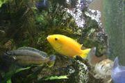 Barsche - Malawi Gelber Labidochromis Yellow
