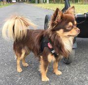 Chihuahua Schoko Tan als Deckrüde
