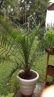 Schöne Phoenix Palme zu verkaufen