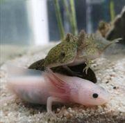 wunderschöne Axolotl Ambystoma mexicanum