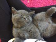 BKH Reinrassigen Britischen Kurzhaar Kitten
